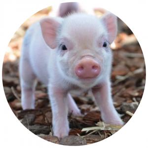 Mico Pig